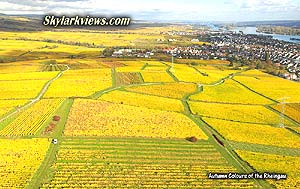 leuchtend gelbe Weinberge im Rheingau - lightning yellow vineyards